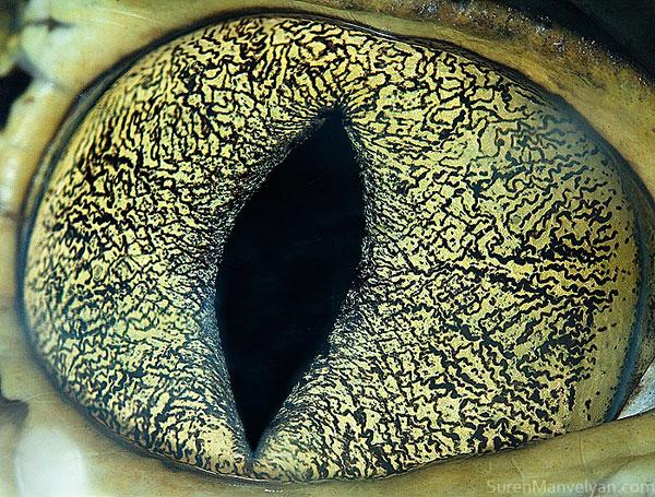 caiman-close-up-of-eye-macro-suren-manvelyan