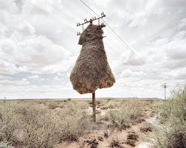 giant communal bird nests on telephone poles dillon marsh africa 1 12 Beautiful Photos of Waxwing Birds