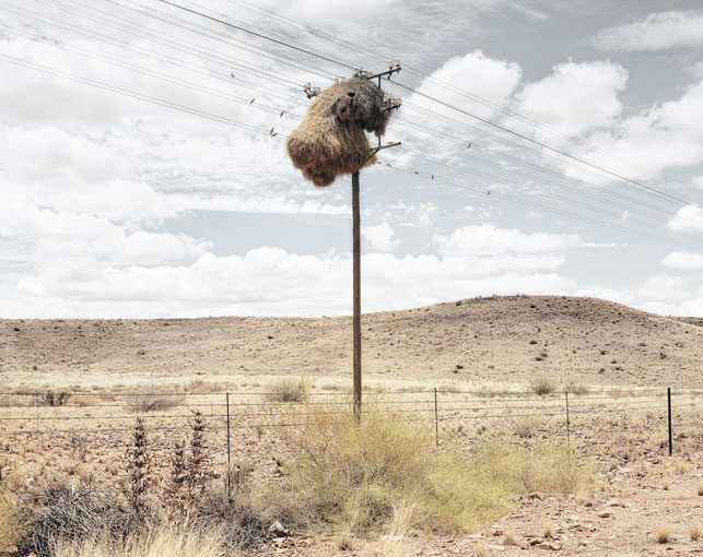 giant communal bird nests on telephone poles dillon marsh africa (2)