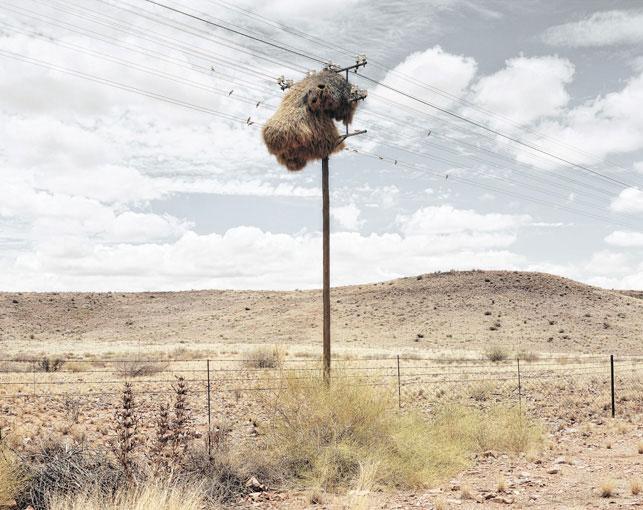giant communal bird nests on telephone poles dillon marsh africa (2)