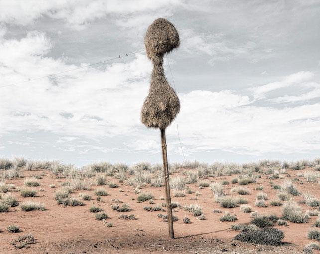 giant communal bird nests on telephone poles dillon marsh africa (3)