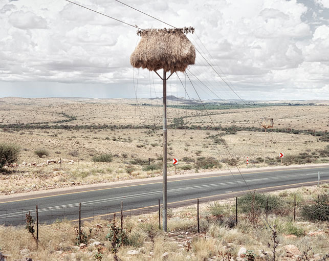 giant communal bird nests on telephone poles dillon marsh africa (4)