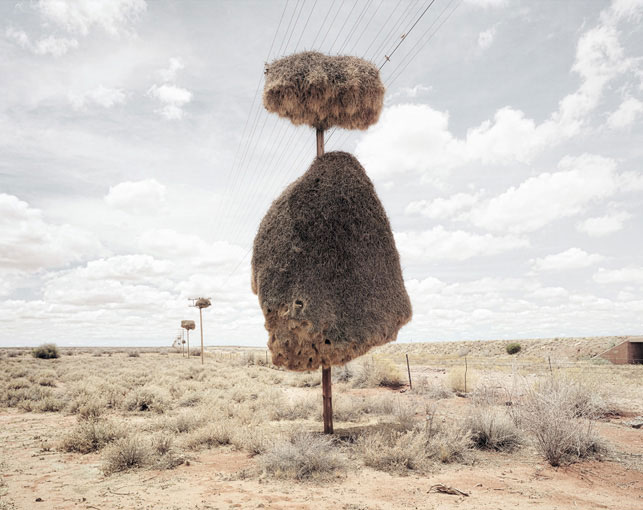 giant communal bird nests on telephone poles dillon marsh africa (5)