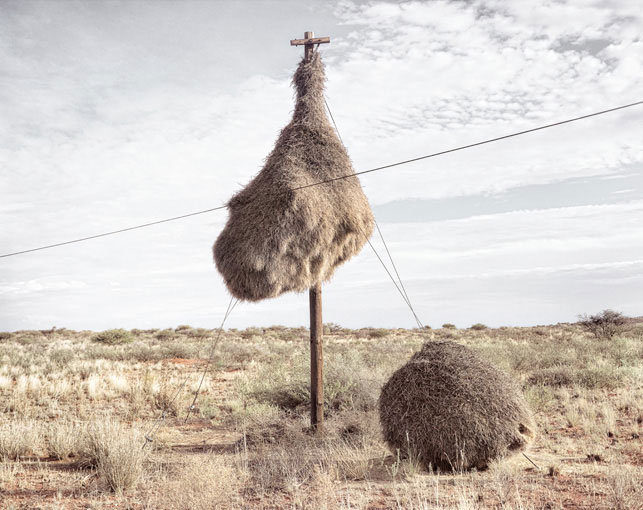 giant communal bird nests on telephone poles dillon marsh africa (6)