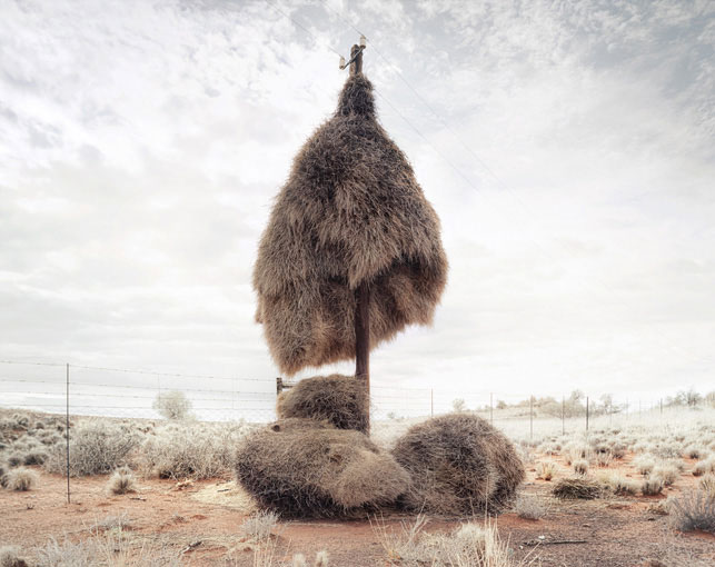 giant communal bird nests on telephone poles dillon marsh africa (8)