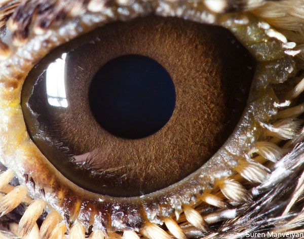 lark close up of eye macro suren manvelyan 10 Detailed Close Ups of Animal Eyes