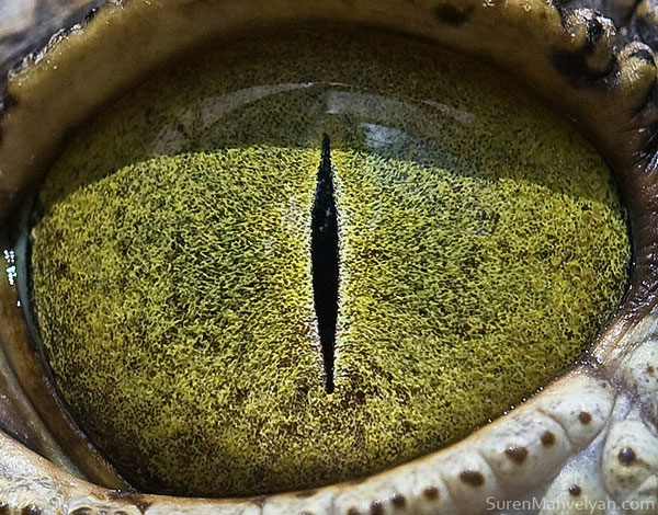 nylus crocodile close up of eye macro suren manvelyan 10 Detailed Close Ups of Animal Eyes