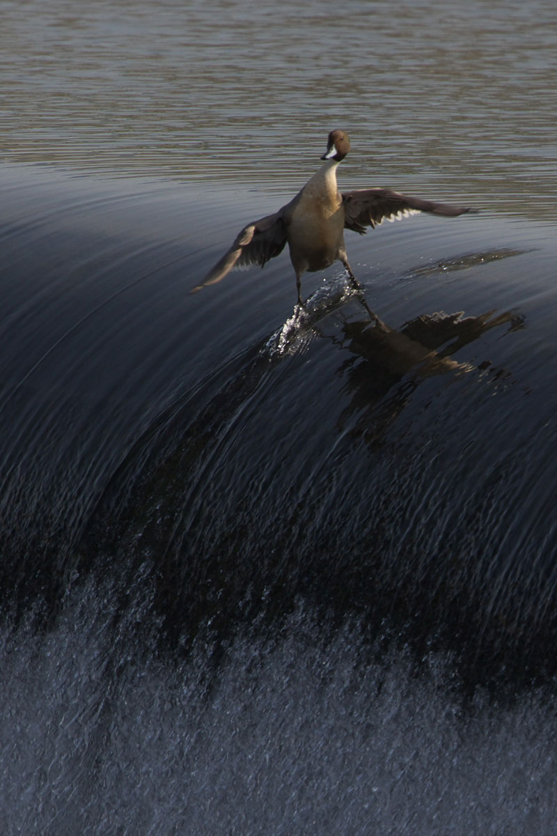 surding duck The Top 50 Pictures of the Day for 2013