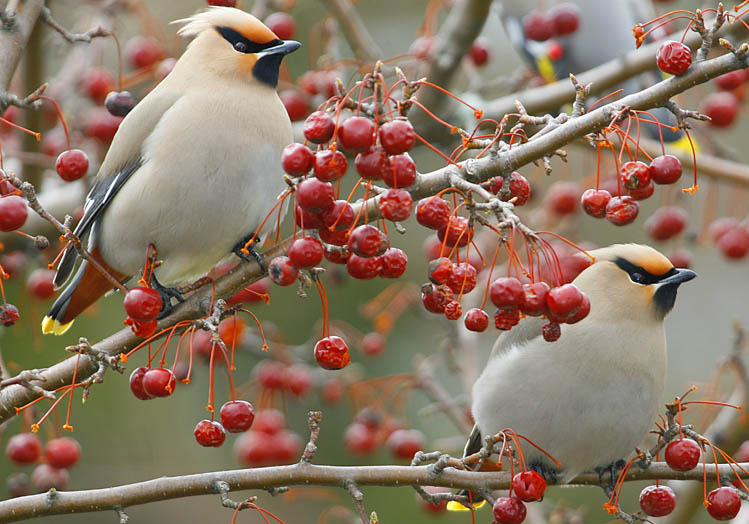 A pair of Bohemian Waxwings (Bombycilla garrulus) in a crabapple tree