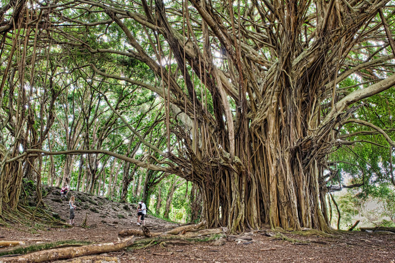 httptwistedsiftercom201304ancient-banyan-tree-big-island-hawaii