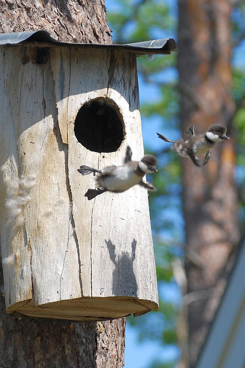 baby common goldeneye ducks leaving nest flying for first time Picture of the Day: First Flight