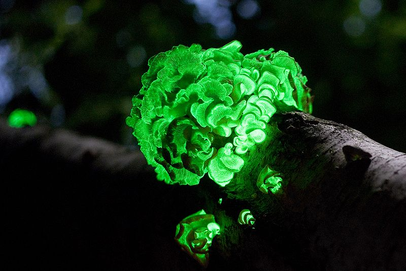 bioluminescent mushroom fungus Panellus Stipticus