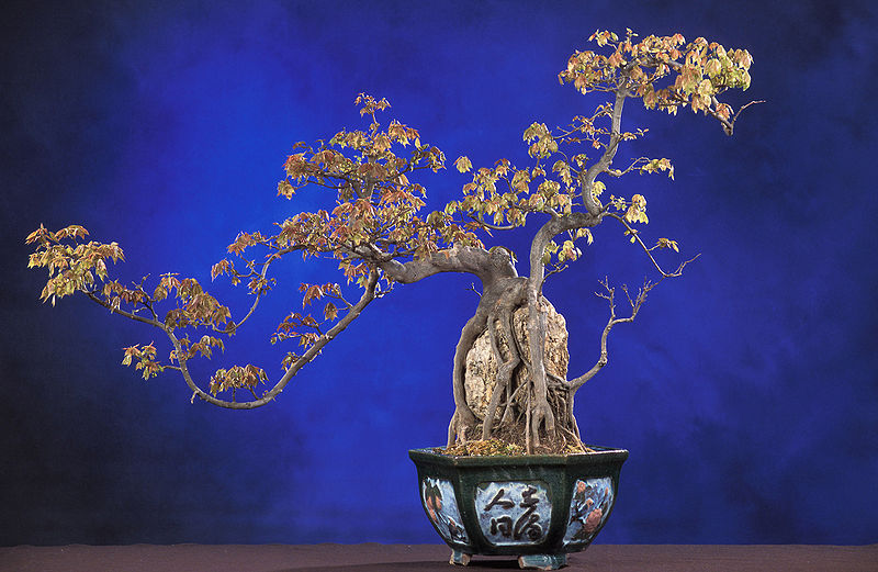 Picture of the Day: Root-Over-Rock TridentMaple