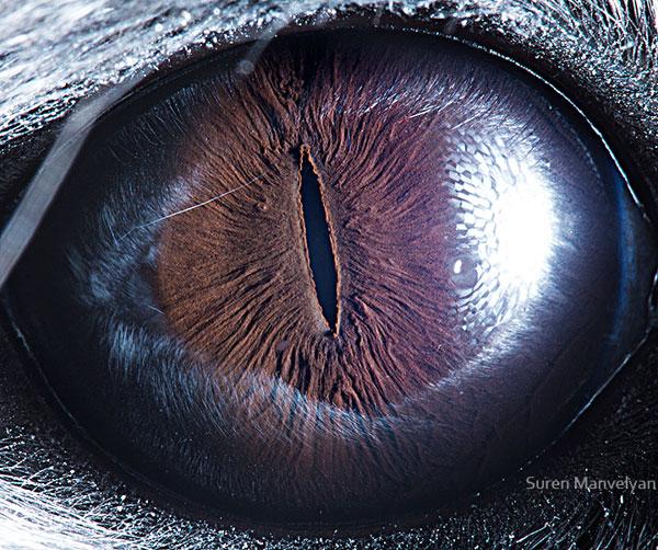 Chinchilla macro eye closeup Suren Manvelyan