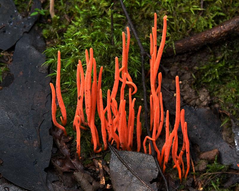 Clavulinopsis_corallinorosacea_coral-fungi