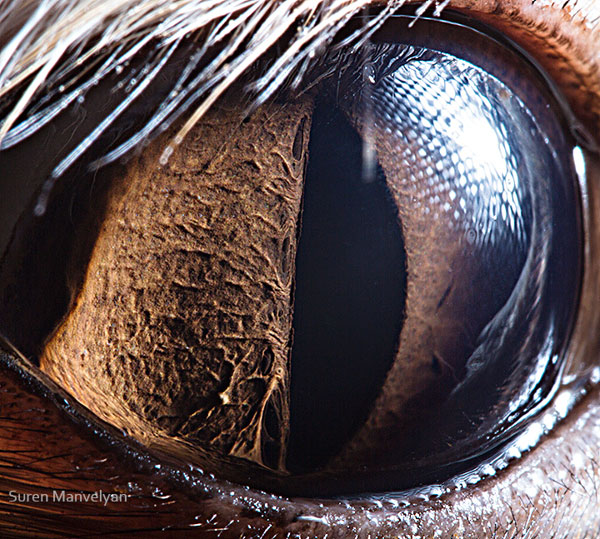 Fennec macro eye closeup Suren Manvelyan
