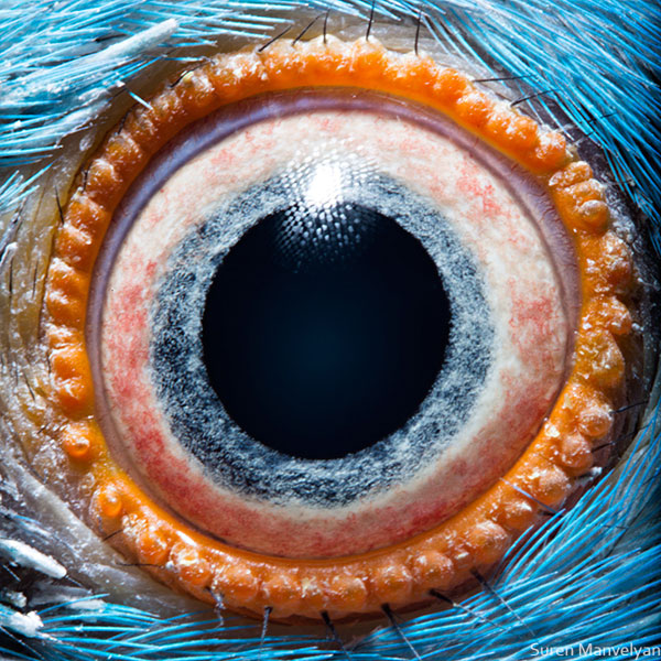 Kramer's-parrot macro eye closeup Suren Manvelyan