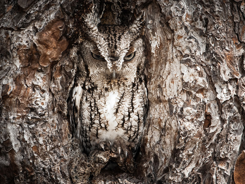 portrait of an eastern screech owl Celebrating 125 Years of National Geographic Photography