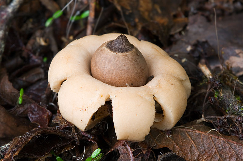 rounded earthstar-Geastrum_saccatum