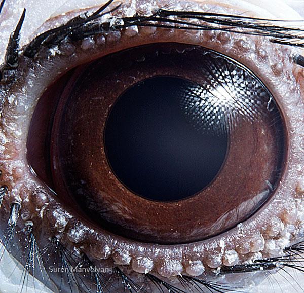 Tockus-bird macro eye closeup Suren Manvelyan