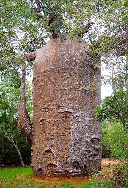 baobab-adasonia-za-very-thick-trunk