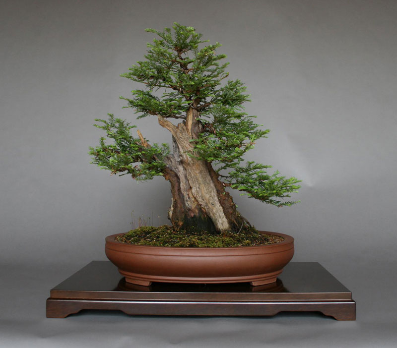 Bonsai Versions of the World's TallestTree
