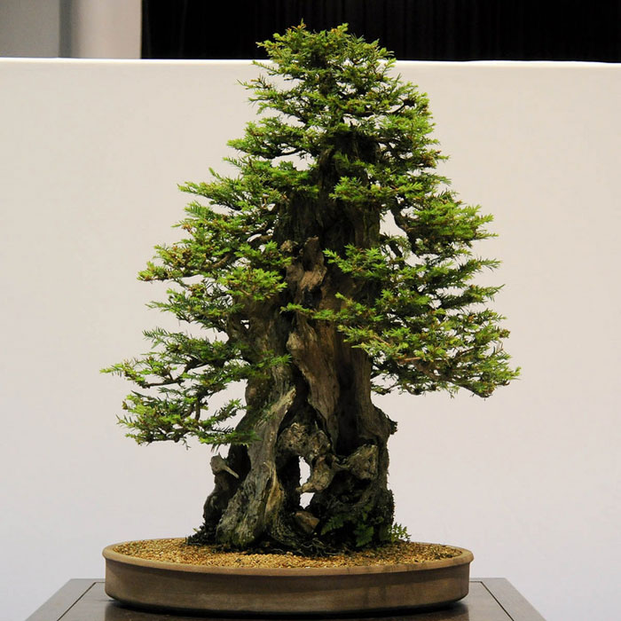 Bonsai versions of the world s tallest tree twistedsifter for Famous bonsai trees