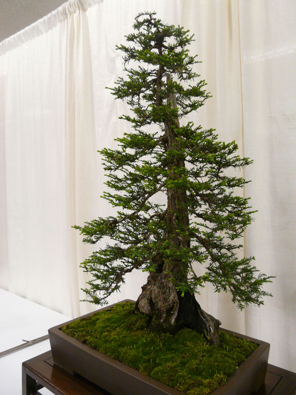 bonsai redwood tree 11 This Bonsai Masters Greatest Work of Art is a Loving Tribute to his Grandkids