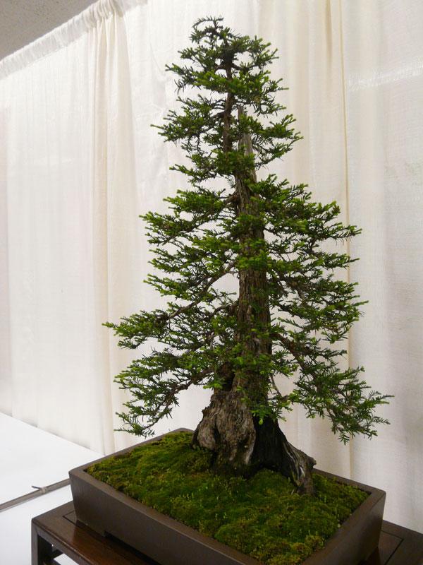 Bonsai Redwood Tree 11