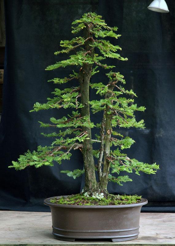 bonsai redwood tree (12)