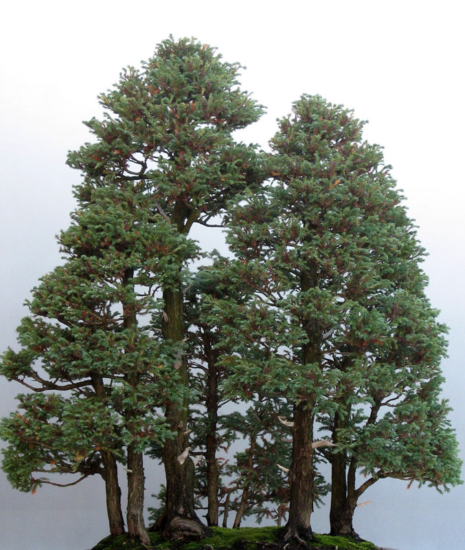 Bonsai Redwood Tree 14