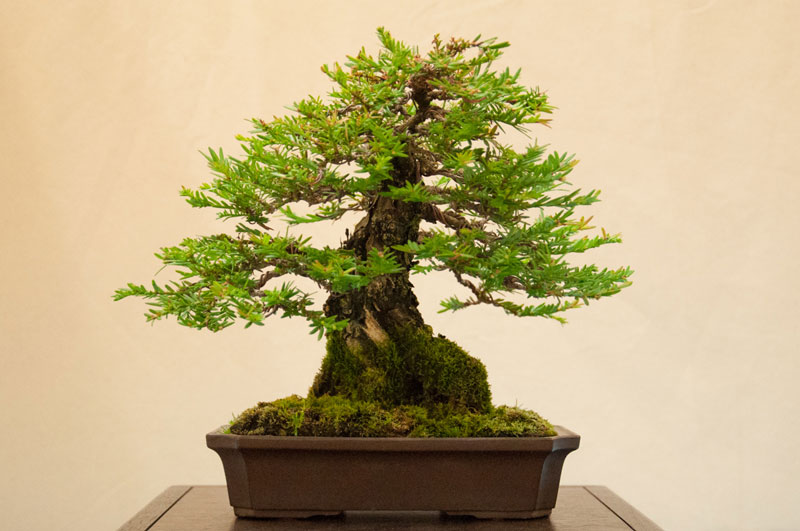 bonsai redwood tree (2)