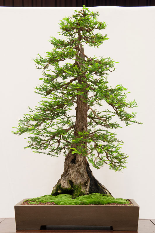 Bonsai Redwood Tree 3