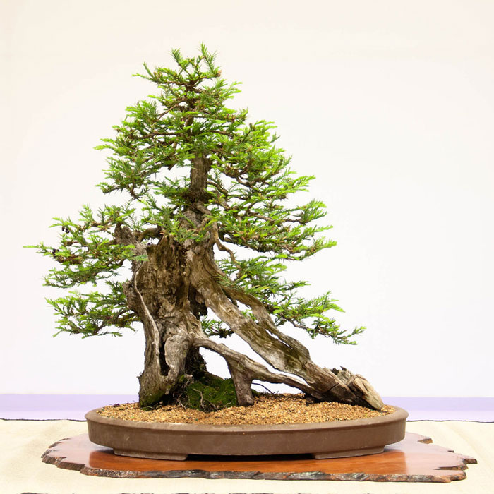 bonsai redwood tree (7)