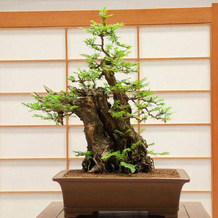 bonsai redwood tree (8)