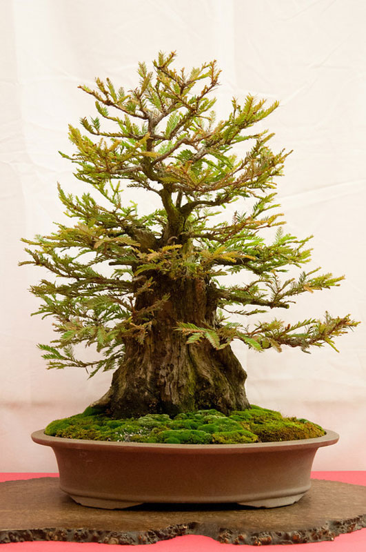bonsai redwood tree (9)