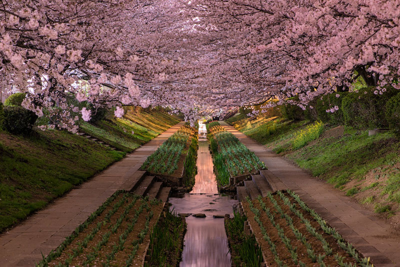 Picture of the day yokohama cherry blossoms in bloom for Cherry blossom garden japan