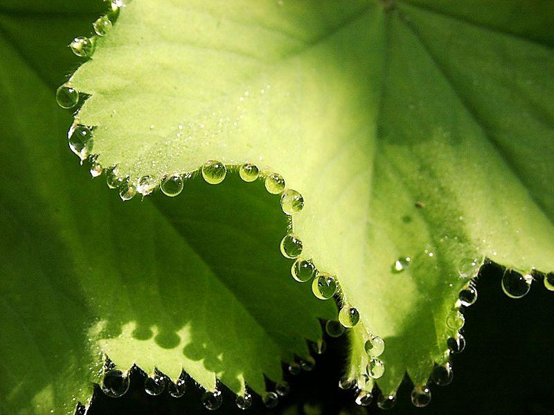 guttation droplets on leaves (1)