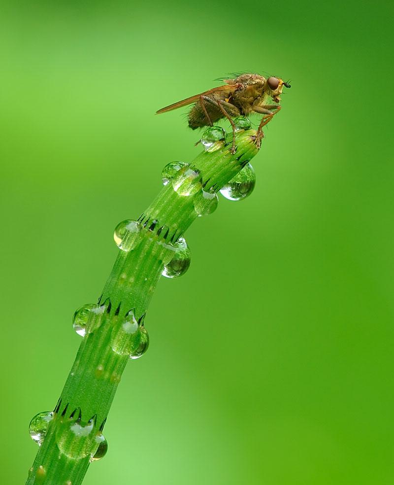 guttation droplets on leaves (7)