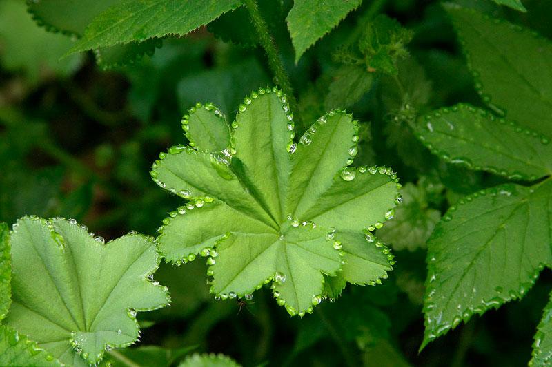 guttation droplets on leaves (8)
