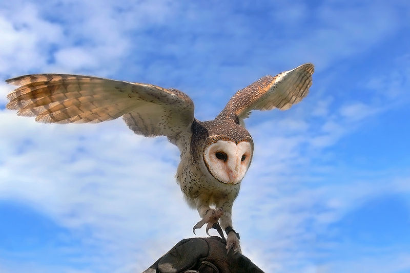 Picture of the Day: The MaskedOwl