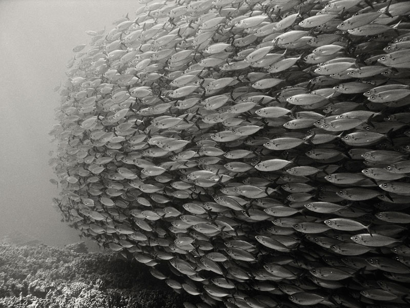 bait ball school of bigeye scad Picture of the Day: The Bait Ball