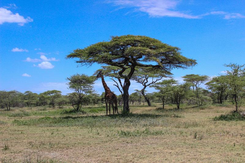 giraffe-getting-shade-under-acacia-tree-serengeti-national-park-by-twistedsifter