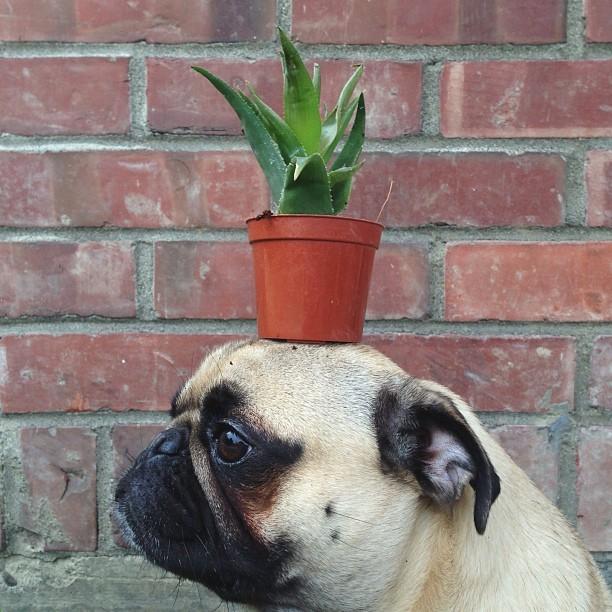norm pug instagram (17)