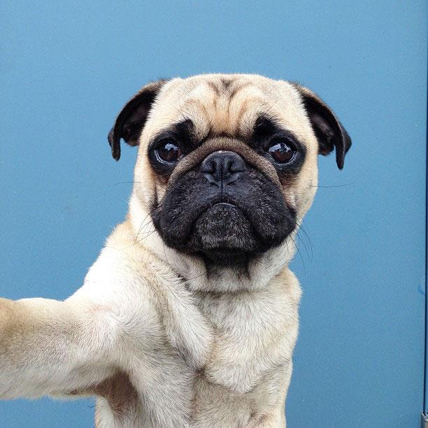 norm pug instagram (6)