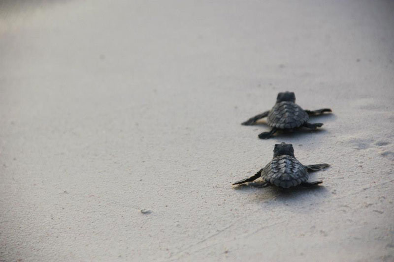 volunteers help guide loggerhead sea turtle hatchlings to sea (10)