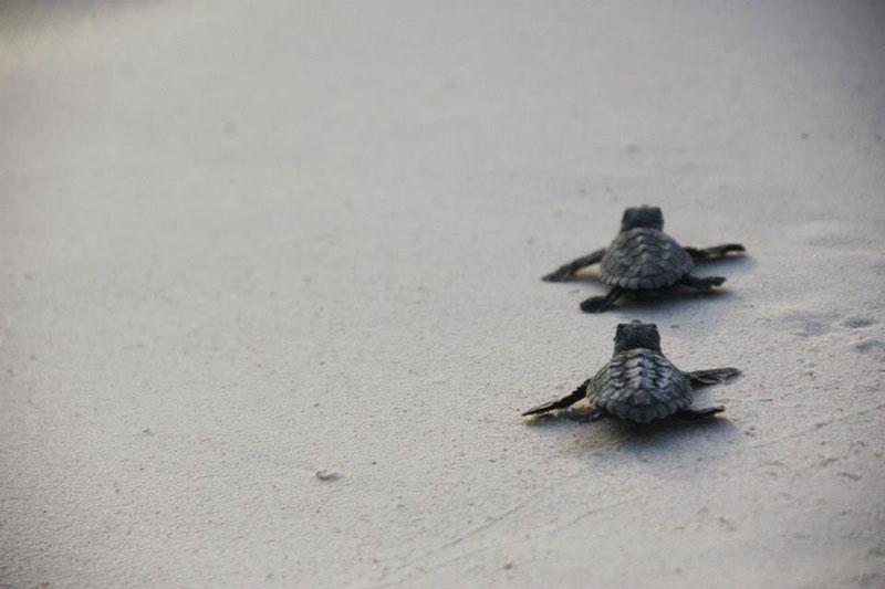 volunteers help guide loggerhead sea turtle hatchlings to sea (10)