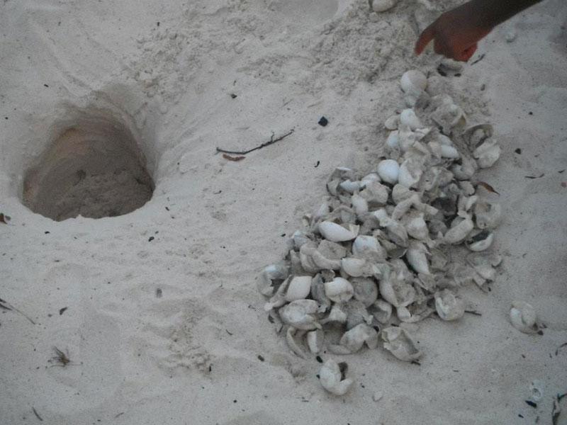 volunteers help guide loggerhead sea turtle hatchlings to sea (11)
