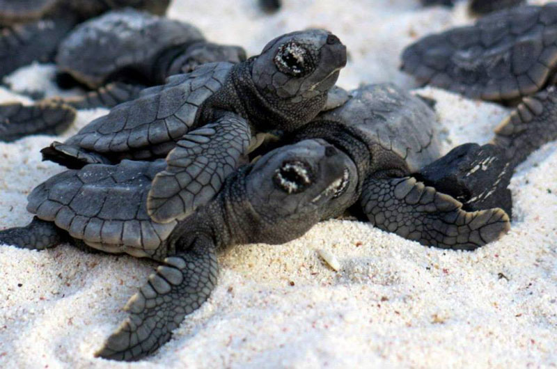 volunteers help guide loggerhead sea turtle hatchlings to sea (2)