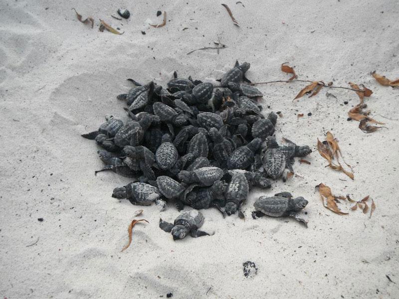 volunteers help guide loggerhead sea turtle hatchlings to sea (4)